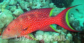 לוקוס אדום מנוקד - Red Louti Grouper