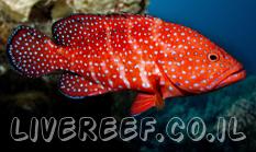 לוקוס מיניאטוס - Miniatus Grouper