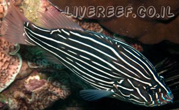 לוקוס גולדן סטרייפ , לוקוס פסים שחור - Soapfish, Golden Stripe