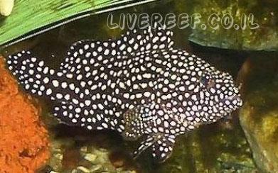 לוקוס דקר , לוקוס סומנה - Spotted Grouper