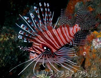 זהרון אנטנטה - Antennata Lionfish