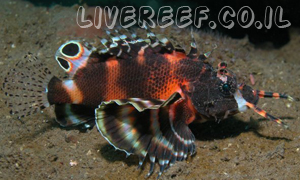 זהרון ביוסלטוס - Two-eyed Lionfish , Fu Manchu Lionfish