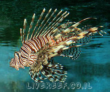זהרון וליטאנס - Volitan Lionfish, Colored