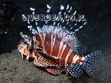 זהרון זברה - Dwarf Lionfish , Zebra Lionfish
