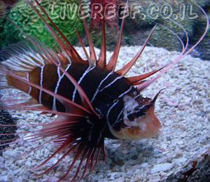 זהרון רדיאטה - Radiata Lionfish