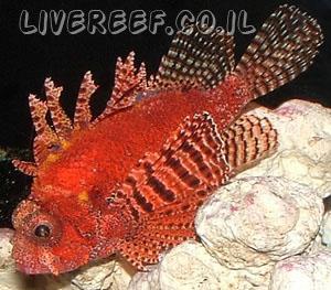 זהרונית ננסית - Fuzzy Dwarf Lionfish