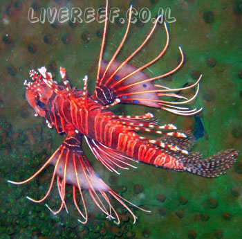 זהרון שטן - Devil firefish
