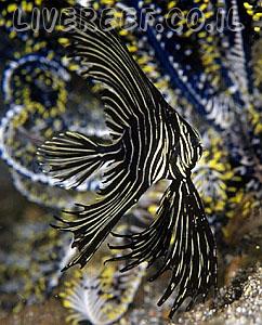 עטלף בטויאנוס - Tiger batfish , Batavia batfish, humpback humphead batfish