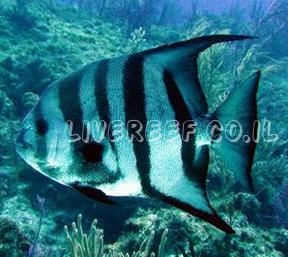 עטלף אטלנטי - atlantic spadefish