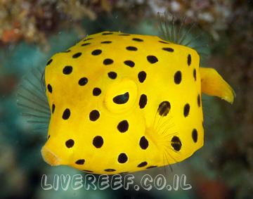 קופסינון צהוב ,  מנוקד Cubicus Boxfish