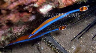 פייפיש פס כחול Bluestripe Pipefish