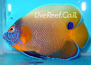 אנג'ל בלו פייס   Blueface Angelfish