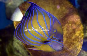 אנג'ל אנולריס  Annularis Angelfish