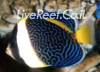 אנג'ל אוסטרלי  Scribbled Angelfish