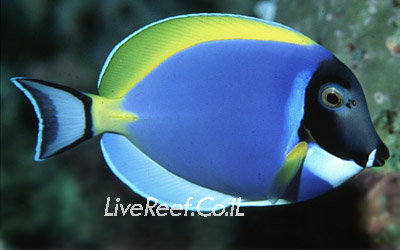 נתחן בלו פאודר  Powder Blue Tang