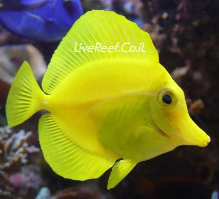 נתחן זברזומה צהובה   Yellow Tang – Hawaii