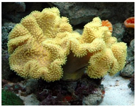 ktYellow Fiji Leather Coral
