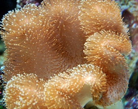 Toadstool Mushroom Leather Coral, Brown