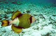 נצרן טיטאן   - Titan triggerfish