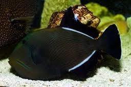 נצרן שחור  - Melichthys indicus