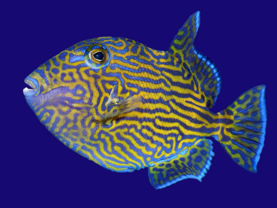 נצרן פוסקוס   - Bluelined Triggerfish