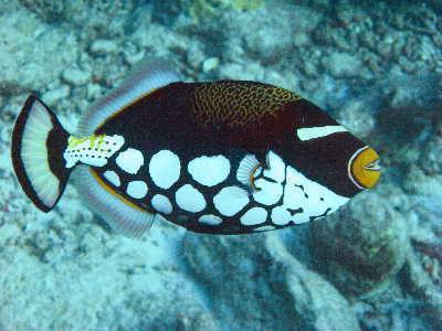 נצרן ליצן - Clown Triggerfish