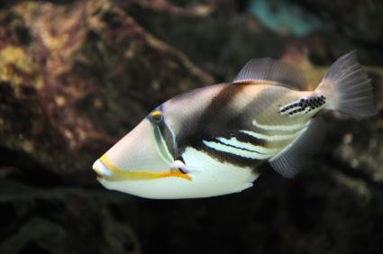 נצרן פיקאסו - Humu Picasso Triggerfish