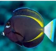 נתחן צהוב סנפיר  - Yellowfin Tang