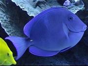נתחן אטלנטי כחול   - Blue Caribbean Tang
