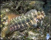 בלני סילאריס - אוכל אצות  Blenny Salarias