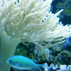 אלמוגים רכים